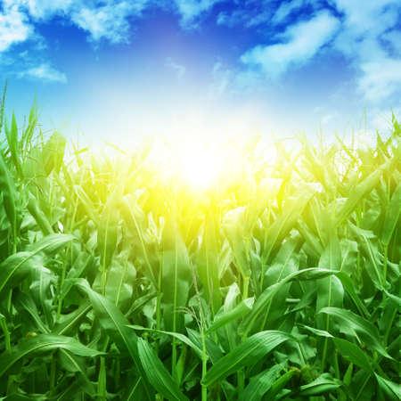 Feld des grünen Mais, blauer Himmel und Sonne im Sommer Tag.