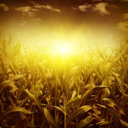corn field: Green corn field at sunset in grunge style.