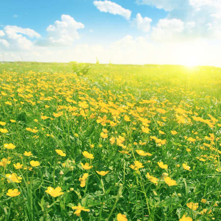 champs de fleurs: Field of spring flowers, blue sky and sun. Banque d'images