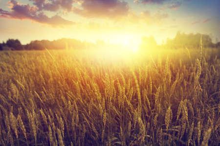 field sunset: Dramatic sunset over wheat field. Stock Photo