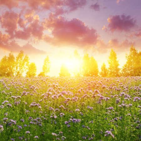 flower fields: Dramatic sunset over summer field.