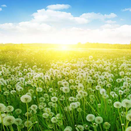 sunlight sky: Dandelion field, blue sky and sunlight. Stock Photo