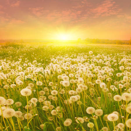 flower fields: Dandelion field and bright sunset. Stock Photo