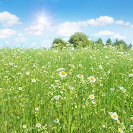 blue summer sky: Summer landscape with daisy field, blue sky and sun.