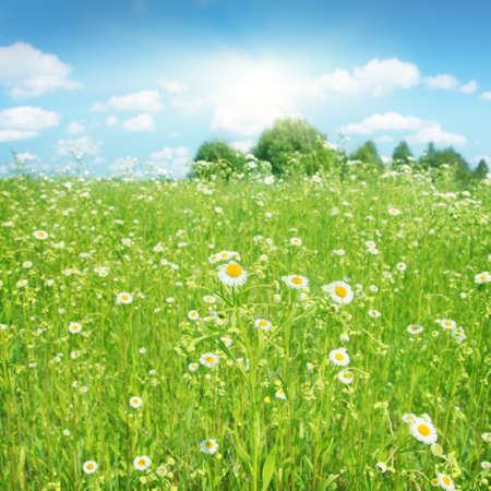Summer landscape with daisy field, blue sky and sun.
