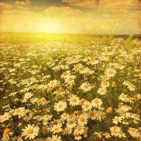 flower fields: Daisy field at sunset in grunge and retro style.