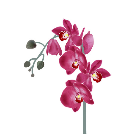 Vector illustration with pink orchids. Digital draw tropical plant, realistic vector botanical illustration for design