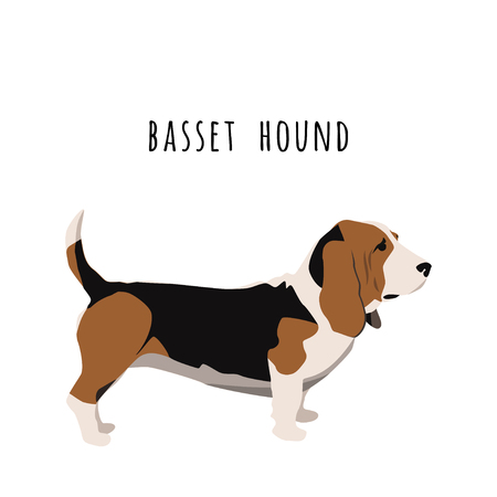Realistic vector card. Simple basset hound illustration. Illustration