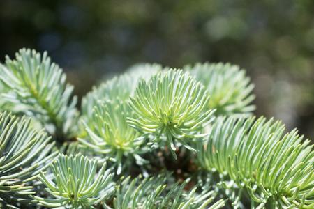 Fir tree brunch close up. Natural photo. Green summer forest. Banque d'images