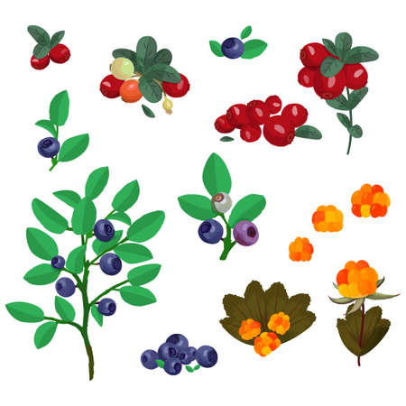 North berries collection blueberry, cowberry and cloudberry. Colorful vector forest plants.