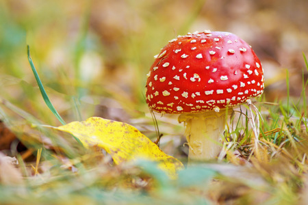 Red Amanita growing in the autumn forest, near a yellow leaf. macro
