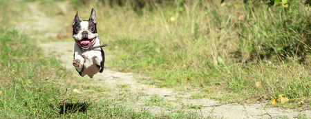 Boston Terrier happily runs in a jump along a forest path in the summer, in sunny weather. banner. Imagens