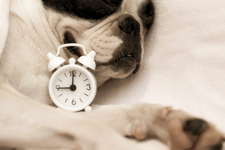 dog breed Boston Terrier overslept and sleeps sweetly in the morning in bed next to a small white clock, wound up at nine in the morning.
