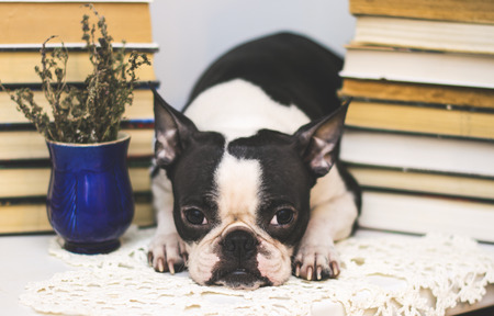 smart dog breed Boston Terrier between stacks of old and new books in the library.