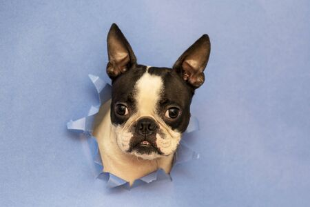 The head of the dog breed Boston Terrier peeking out through a hole in the blue paper.Creative. Minimalism