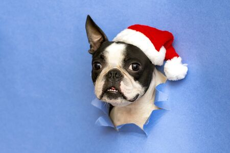 The head of the dog breed Boston Terrier looks through a hole of blue paper with santa hat. Фото со стока