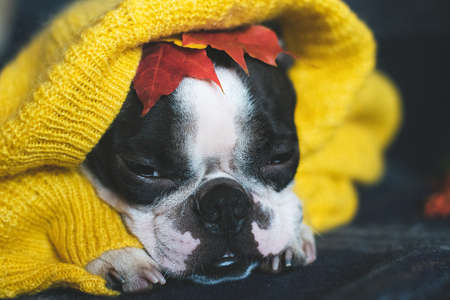 Autumn portrait of a Boston Terrier dog wrapped in a warm cozy yellow sweater at home.