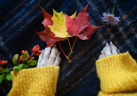 Paws of a Boston Terrier dog in a warm cozy yellow sweater at home with colorful autumn leaves.