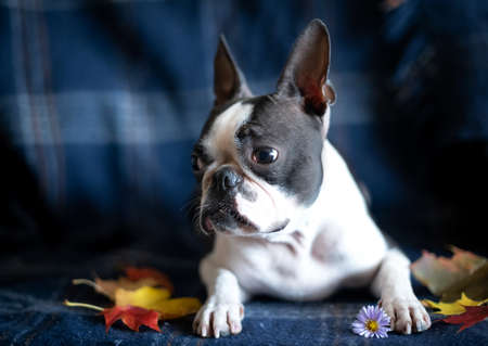 Portrait of a Boston Terrier dog in a cozy home interior on an autumn day.