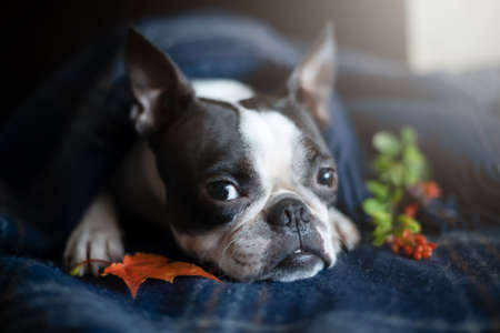 Portrait of a Boston Terrier dog in a cozy home interior on an autumn day. Stock fotó - 155450894