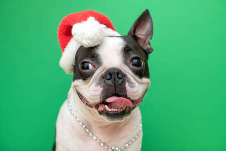 Portrait of a Boston Terrier dog in a new years red Santa Claus hat on a green background in the Studio.