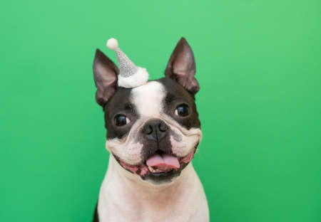 Portrait of a Boston Terrier dog in a new years hat on a green background in the Studio. Creative.