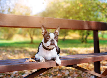 A Boston Terrier dog lies on a wooden bench in a Park in beautiful nature on a Sunny, clear autumn day. Stock fotó