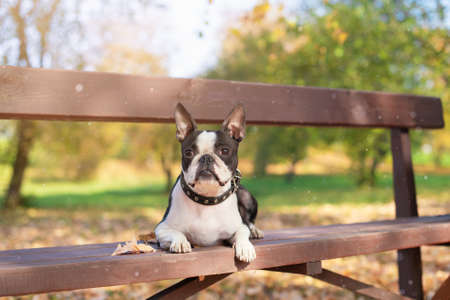 Boston Terrier dog lies on a wooden bench in a Park in beautiful nature on a Sunny, clear autumn day.