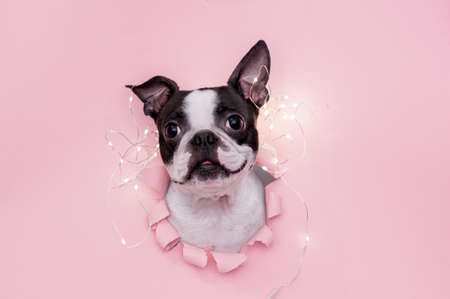 A happy and funny dogs face looks out through a hole in the pink paper with a garland on top. Creative. Stock fotó