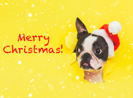 The head of a Boston Terrier dog in a Santa Claus hat looks out of a hole in a yellow paper in the snow. Lettering-Merry Christmas in red letters. Stock fotó