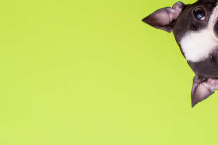 Funny head of a Boston Terrier dog looks out on a green background. Copy space. Stock fotó