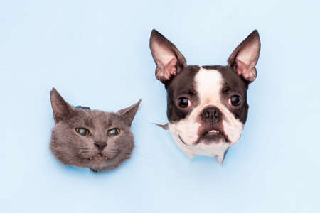 The heads of a gray cat and a Boston Terrier dog peek through holes in the blue paper. Funny creative.