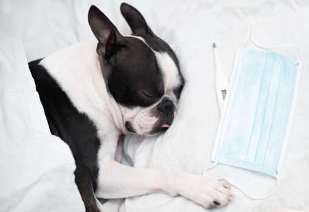 The Boston Terrier dog is ill and sleeps in a bed with a high temperature, next to a thermometer and a medical mask, covered. Stock fotó