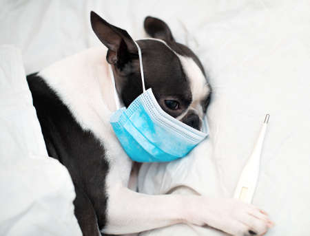 The Boston Terrier dog is ill and sleeps in a bed with a high temperature, wearing a medical mask against viruses.