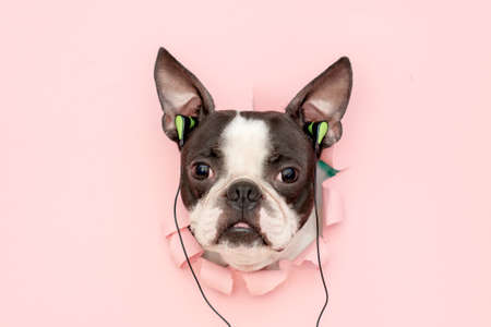 The head of a Boston Terrier with fashionable headphones stuck in its ears looks through a hole in the pink paper. musical, creative. Stock fotó