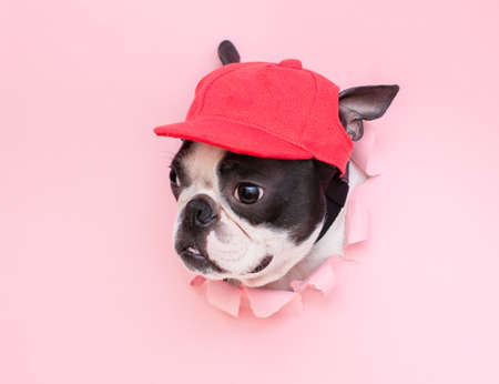The head of a fashionable Boston Terrier dog in a red sports cap looks out of a hole in the pink paper. Stock fotó