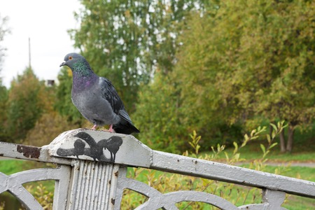 glades: Pigeon sitting on the parapet of the bridge Stock Photo