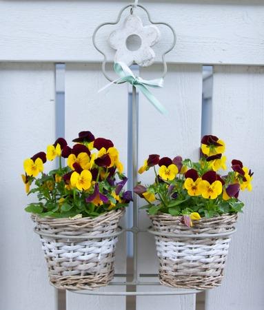 Pansies in hanging baskets in the summer garden
