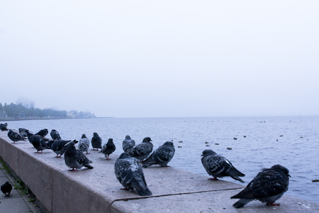 onega: Pigeons on embankment of lake Onega in Petrozavodsk city, Russia