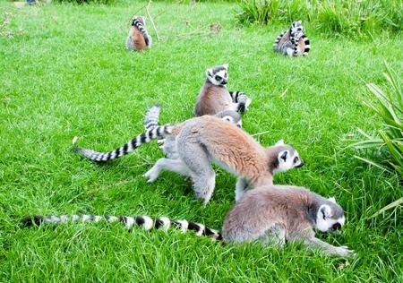 Mechelen, Belgium - 17 May 2016: Lemurs in Planckendael zoo