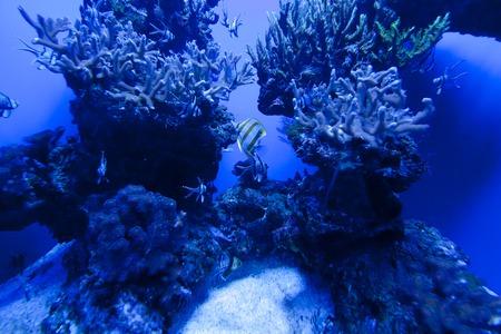 aquarium hobby: Colorful exotic tropical fishes underwater in aquarium