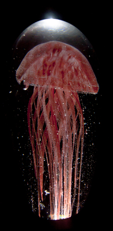 Beautiful red jellyfish on a black background.