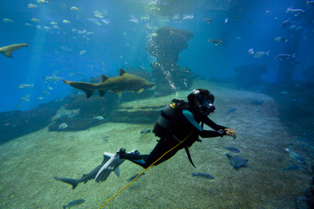 aquarium hobby: Diver with colorful exotic tropical fishes and sharks underwater in aquarium