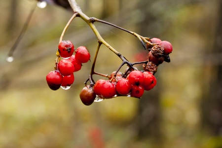Ashberry with drops of water close-up in autumn