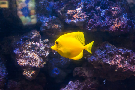 Yellow surgeon fish. Wonderful and beautiful underwater world with corals and tropical fish.
