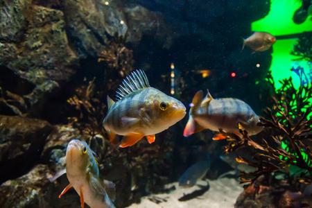 Fish European perch - perca fluviatilis, in aquarium. Stock fotó