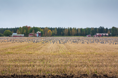 A big flock of barnacle gooses -Branta leucopsis are sitting on a field. Birds are preparing to migrate south. October 2018, Finland.