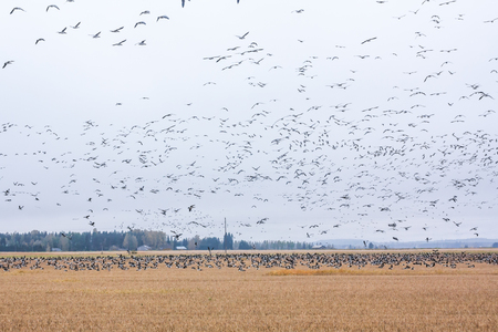 A big flock of barnacle gooses -Branta leucopsis are sitting on a field and flying above it. Birds are preparing to migrate south. October 2018, Finland Stock Photo