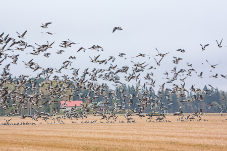 A flock of Cygnus cygnus -Whooper Swan on a field at forest background and flock of barnacle gooses - Branta leucopsis flying above them. Birds are preparing to migrate south. October 2018, Finland. Stock fotó