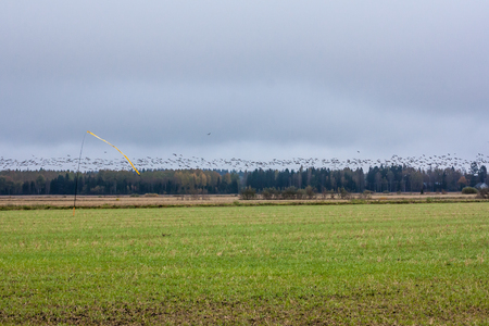 A flock of Cygnus cygnus -Whooper Swan on a field at forest background and flock of barnacle gooses - Branta leucopsis flying above them. Birds are preparing to migrate south.